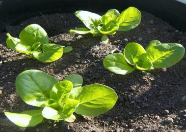 2 cách trồng rau xà lách sạch tại nhà, đơn giản mà ít tốn kém
