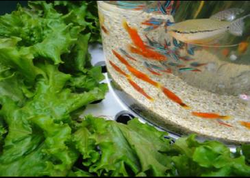 3 mô hình trồng rau nuôi cá cơ bản tại nhà mà bạn không thể bỏ qua