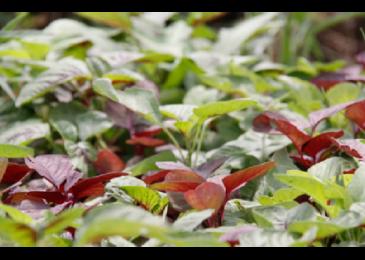 """Các cách trồng rau dền trong thùng xốp vô cùng đơn giản nhưng mang lại hiệu quả """"không ngờ"""""""