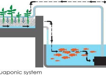 Mô hình aquaponics – mô hình kết hợp sản xuất rau và cá